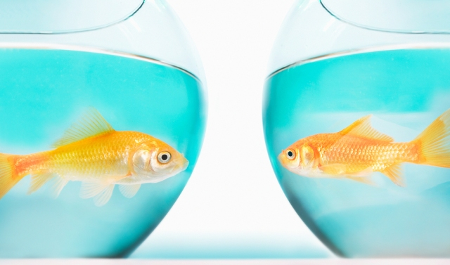 Two gold fish in bowls, side view